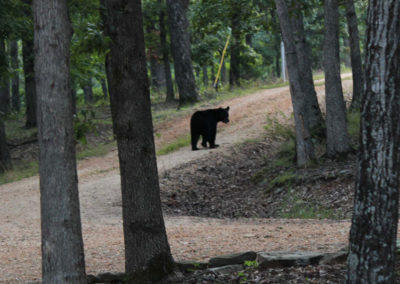 Black Bear from Front Porch